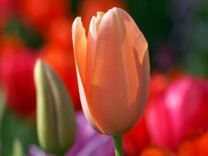 Tulipán recibiendo la luz del sol
