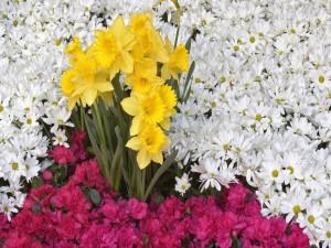 Postal: Narcisos, margaritas y azaleas