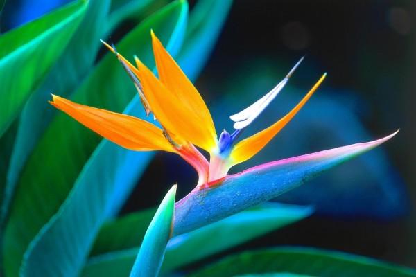 Bella flor ave del paraíso
