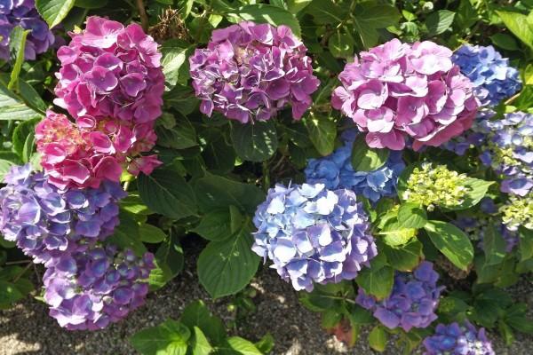 Hortensias de varios colores en la misma planta