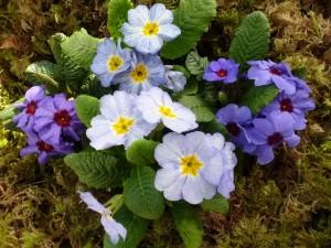 Primulas de varios colores