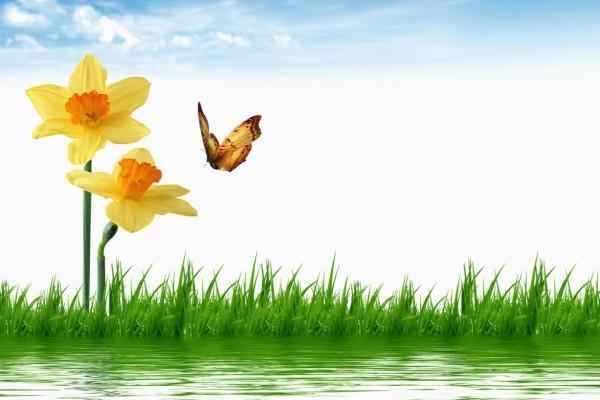 Inquieta mariposa volando sobre los narcisos