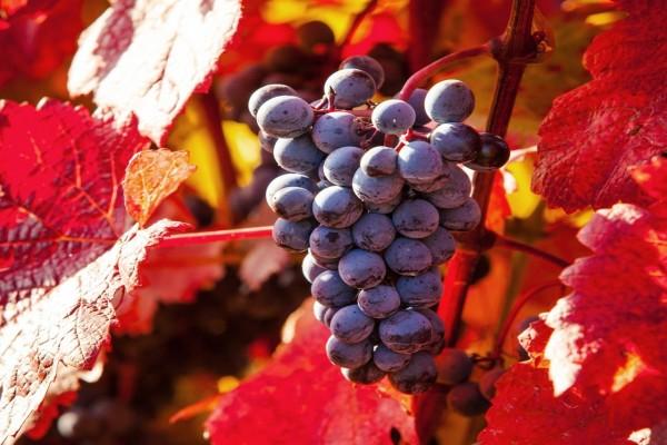 Uvas negras colgadas de la vid