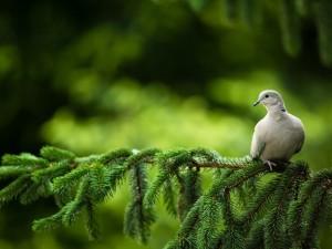 Paloma sobre una rama