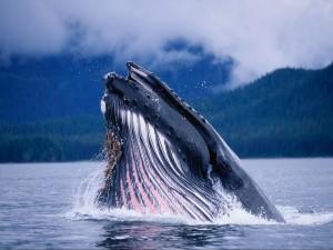 Gran ballena saliendo a la superficie
