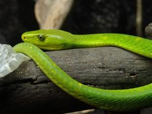 Mamba verde oriental sobre el tronco