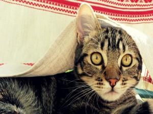 Postal: Un gato bajo el mantel
