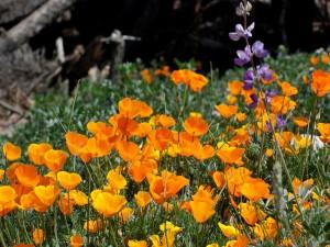 Flores naranjas entre la hierba