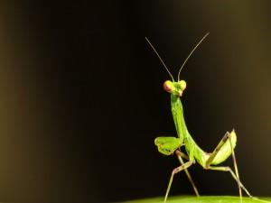 Mantis caminando sobre la superficie de una hoja