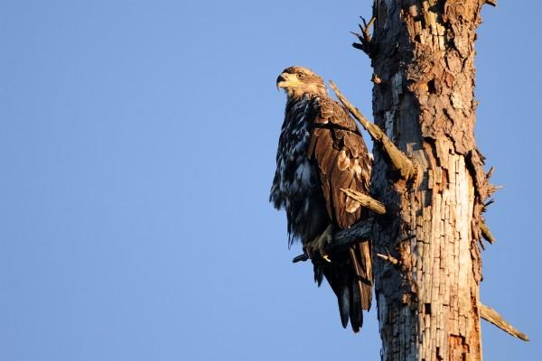 Águila posada en una rama