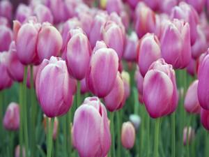 Tulipanes rosas en el jardín