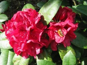Una abeja en la flor roja