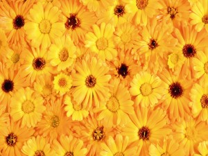 Postal: Margaritas amarillas