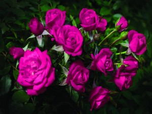 Rosas de color fucsia