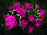 Rosas de color fucsia
