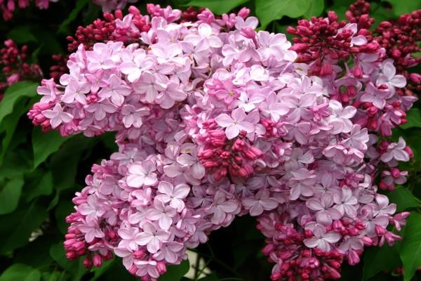 Lilas de color rosa