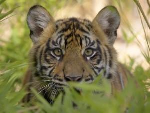 Postal: Joven tigre oculto entre las plantas