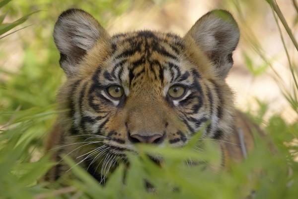 Joven tigre oculto entre las plantas