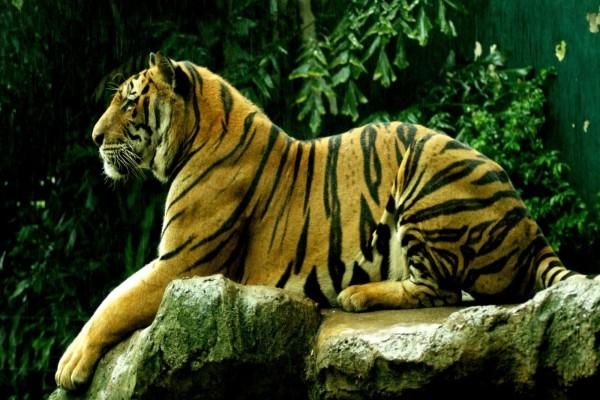 Un tigre tumbado sobre la roca