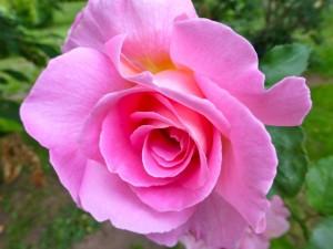 Postal: Una bella rosa