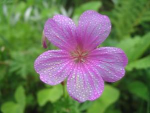 Postal: Flor rosa con gotas de agua