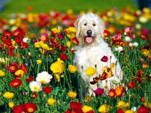 Postal: Un perro blanco entre las coloridas flores