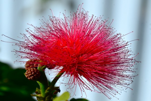 Curiosa flor con finos estambres