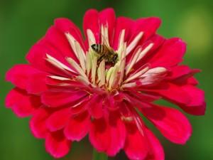 Postal: Abeja en el centro de la flor