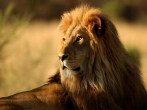 Un bonito león en reposo