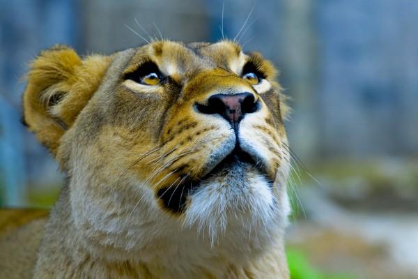 La cara de una leona