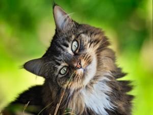 Un bonito gato ladeando la cabeza