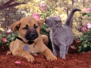 Un gato jugando con la oreja del perro