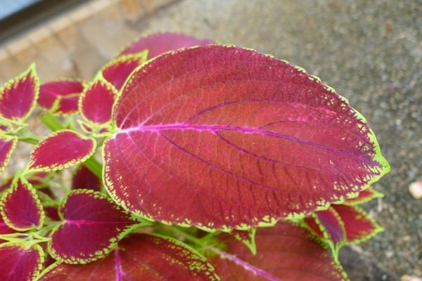 Una planta con hojas de color rojo y verde