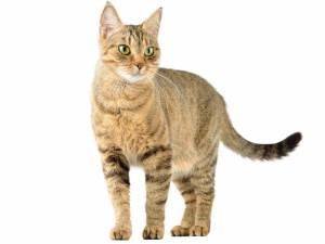 Postal: Un bonito gato de ojos verdes