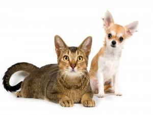 Postal: Gato y un chihuahua