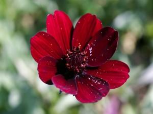 Flor con pétalos granates
