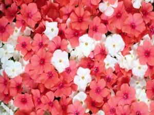 Postal: Bonitas flores rosas y blancas