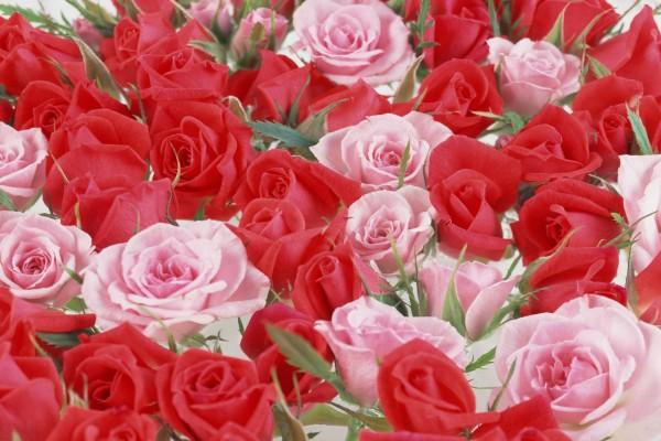 Rosas rojas y rosas