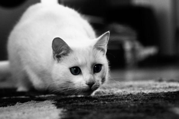 Un gato blanco en una imagen blanco y negro
