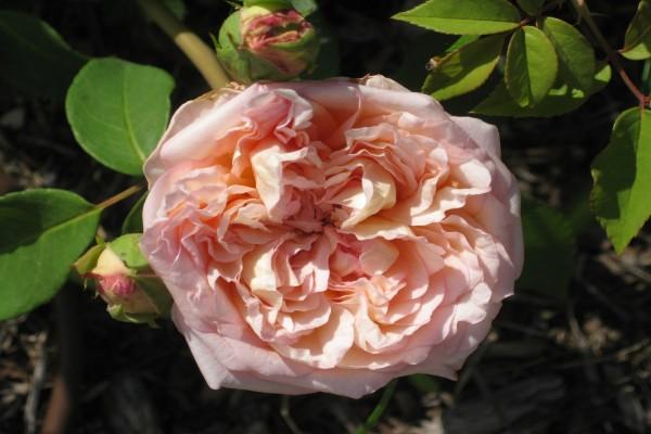 Una gran rosa en el rosal