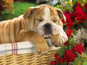 Postal: Un perro dormido en la cesta de mimbre