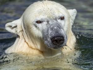 Postal: Oso polar en el agua