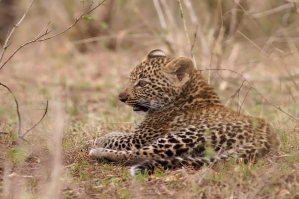 Cachorro de leopardo tumbado