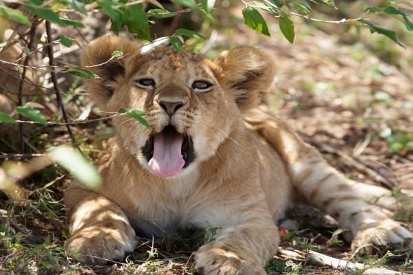 Cachorro de león con la boca abierta