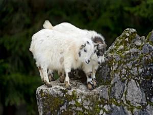 Dos pequeñas cabras sobre la roca