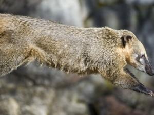 El salto de un coatí