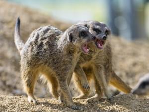 Dos suricatas enfadados