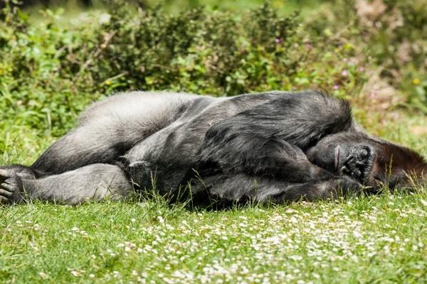 Gorila tumbado en la hierba