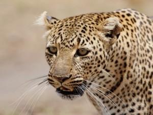 La cara de un leopardo