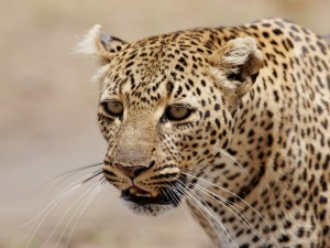 Postal: La cara de un leopardo
